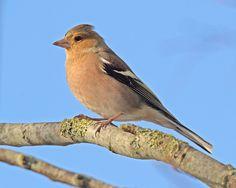 Vroege Vogels: mannetjes vink