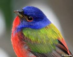 Image result for painted bunting