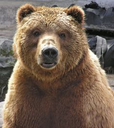 Kodiak Bear (by BarbSF) He's handsome and he knows it! :)