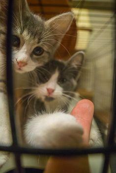 https://flic.kr/p/BuNTjN | Kittens Grabbing Finger 2 | Cute Cats