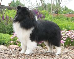 Sheltie. Always wanted one, and black!! Gorg