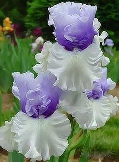 Bearded Iris - two tone - Beautiful!