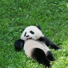 Where to find giant pandas in the USA