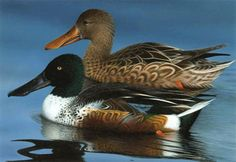 Dabbling - Northern Shoveler. Male with green head and neck with significant white on the body, female mottled in shades of brown, comb-like structures on edge of bill