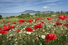 Seen, Hetalia, Hungary, Tao, Finland, Denmark, Belgium, Wild Flowers, Norway