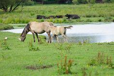 Das Dülmener Wildpferd gehört zur Kategorie der Ponys...