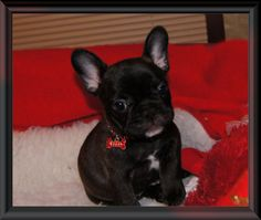 French Bulldog puppies for sale Minnesota Breeder