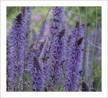 Salvia 'May Night' (Mainacht)