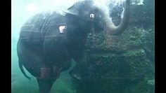 Elephant goes for a swim!