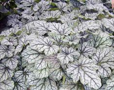 Compact, Heuchera 'Venus' features large, silver leaves adorned with deep green veins. In late spring to mid-summer, panicles of small, bell-shaped, creamy-white flowers bloom on slender stems rising up to 15 in. (37 cm), above the semi-evergreen foliage. A terrific choice for adding a touch of color in the rock garden, perennial border, along paths or in containers.