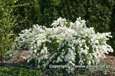 Exochorda 'The Bride' (Drzewa i krzewy ozdobne, ogrody, rośliny ogrodowe, iglaki - zdjęcia i opisy)