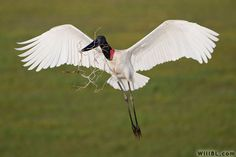 "Jabiru Stork; Tallest flying bird found in Central  South America. 47–55"" long, 7.5–9.2' wingspan. Large males may stand 5 ft. Beak is black and broad, measures 9.8–14"". Plumage mostly white, head  black  featherless with a stretchable red pouch at the base. Sexes similar but male is larger. Lives in large groups near rivers and ponds. They nested in Crooked Tree, Belize where I lived."