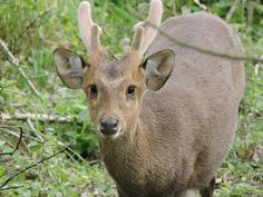 Hog Deer in Kaziranga National Park.  Assam.  www.neroutes.com