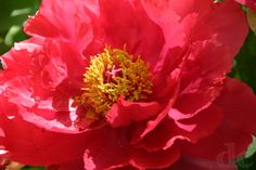 Tree peony in perfect coral