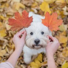 Westie Puppies, Westies, Cute Puppies, Doggies, Autumn Animals, Fall Forward, Cute Little Dogs, West Highland Terrier, White Terrier