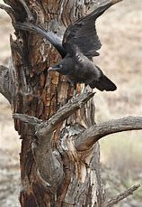 Young raven testing its wings (Photographer: Norman Rich) ❤❦♪♫ -Pinned by The Mystic's Emporium on Etsy Raven And Wolf, Quoth The Raven, Black Feathers, Bird Feathers, Raven Pictures, Jamie Wyeth, Blackbird Singing, Crow Bird, Counting Crows