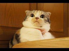 「最高におもしろ猫」笑わないようにしてください!超かわいい猫 - YouTube