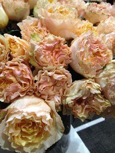 Peach campanella garden roses: all year