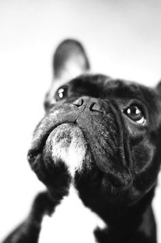Puppy Love :: The most funny + cutest :: Free your Wild :: See more adorable Puppies + Dogs :: French Bulldog French Bulldog Clothes, French Bulldog Puppies, French Bulldogs, Frenchie Puppies, Baby Bulldogs, English Bulldogs, Cute Puppies, Cute Dogs, Dogs And Puppies
