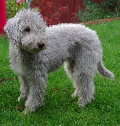 Bedlington Terrier - not groomed to within an inch of its life!-
