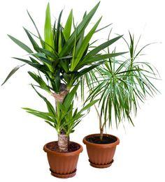 Traakkipuu hoito. Katso traakkipuun hoito-ohjeet ja kasvatusvinkit. Interior Design, Plants, Garden, Tips, Nest Design, Home Interior Design, Interior Designing, Home Decor, Plant