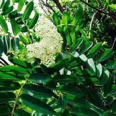 Le cormier  l'arbre de MONTRÉAL