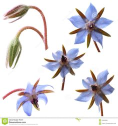 Photo about Borage flowers (starflower) isolated on white background. Image of nature, weed, blue - 15252055 Edible Flowers, Nature Images, Weed, Party Supplies, Royalty Free Stock Photos, Garden, Google, Garten, Gardening