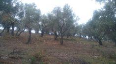 Skopelos, Lesvos. Evo3 olive farms.