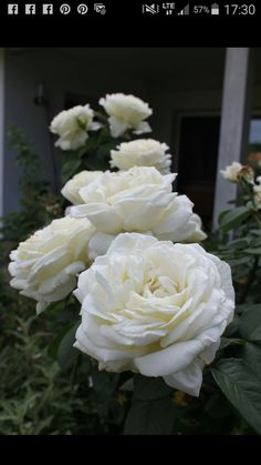 White Roses, Flowers, Plants, Plant, Royal Icing Flowers, Flower, Florals, Floral, Planets