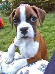 Really cute boxer puppy dog