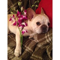 dear mothers, walter got you some flowers today. thank you for all you do! ❤️ #happymothersday #mom #frenchie #frenchbulldog #waltercronkite #cutepuppy #pets #dog