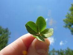 Un trébol Paseando por el prado, con un trébol de cuatro hojas, me he tropezado al instante, me he agachado...