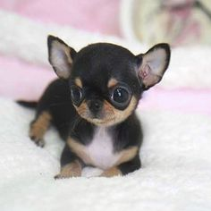 List Cutest Dog Breeds In The World With Picture. Do You Make Them Pets Cutest Dog In The World's - Let's known about beautiful dogs, top 10 cutest dog breed, prettiest dog breeds, super cute doggies, cutest dog in the world Tiny Puppies, Cute Dogs And Puppies, Doggies, Black Pug Puppies, Puppies Tips, Baby Animals Pictures, Cute Animal Pictures, Cute Little Animals, Cute Funny Animals