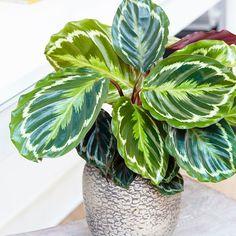 Buy The zebra plant (marantaceae) Calathea Medaillon Goeppertia veitchiana 'Medaillon' - This plant has exotic-looking colourful foliage: Delivery by Waitrose Garden