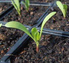 Calendula seedling