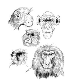 monkey sketches