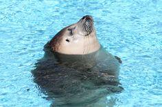 Sunbathing seal in Veszprém zoo, Hungary.
