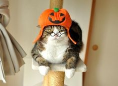 It is a Halloween Pumpkin kitty hat. This cat is obviously sedated to sit there and wear this silly halloween pumpkin hat; I am guessing. Funny Cat Memes, Funny Cat Videos, Funny Cats, Funny Animals, Cute Animals, Baby Animals Pictures, Funny Cat Pictures, Dog Pictures, Samhain
