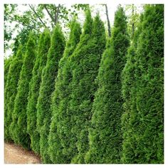 Look at this Live 'Emerald Green' Thuja Arborvitae Plant Privacy Landscaping, Home Landscaping, Front Yard Landscaping, Landscaping Equipment, Landscaping Rocks, Landscaping Software, Landscaping Company, Arborvitae Landscaping, Cheap Privacy Fence