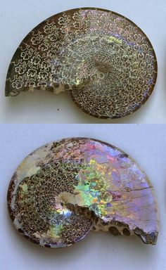 lovely Ammonite with
