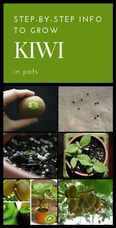 Now is the best time to grow kiwi in pots or in the garden! The optimal period to grow kiwi is from March to May. Buy a ripe fruit, which is healthy, soft and homogeneous. Wash the fruit and cut it… Kiwi Growing, Growing Plants, Growing Fruit Trees, Fruit Garden, Vegetable Garden, Garden Plants, How To Grow Kiwi, Exotic Plants, Edible Garden