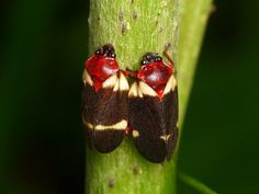 Froghoppers or Spittlebugs, Cercopidae