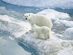 orsi polari curiosi e affamati