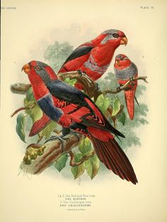 A monograph of the lories, or brush-tongued parrots :.  London :R.H. Porter ...,1896..