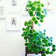 pilea peperomioides big plants green leaves plant foliage cute pots for plants green leaves plants foliage living with plants plants at home houseplants indoor plants plants decor home decor interior Chinese Money Plant, Chinese Plants, Cactus Plante, Decoration Plante, Pot Jardin, Growing Plants, Big Plants, Houseplants, Garden Plants