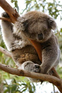 84f4f7b5aec4 21 Best koala images