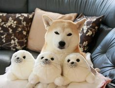 if i could have any dog, it would be a shiba. (or a corgi).