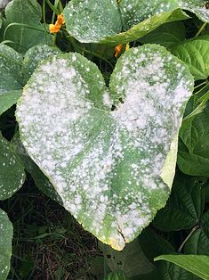 Has powdery mildew overtaken your zucchini, cucmbers, squash, or pumpkins? Here's my two step solution to get the outbreak under control. Organic Gardening, Gardening Tips, Urban Gardening, Gardening Courses, Zucchini Plants, Squash Plant, Cucumber Plant, Sloped Garden, Meteor Garden 2018