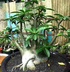 Adenium arabicum 'Petch Na Wang' (PNW)