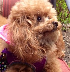 Toy poodle, Cheyenne, loves catching some sun rays on the patio.